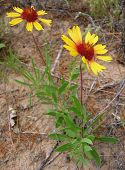 stock photo of xeriscape  - blanketflower pair - JPG