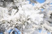 image of fulcrum  - firtree tree branch in winter snow hoarfrost
