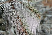 image of blue spruce  - Branches of blue spruce in icicles from the rain - JPG
