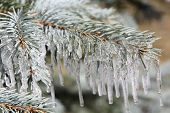 picture of blue spruce  - Branches of blue spruce in icicles from the rain - JPG