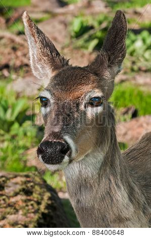 White-tailed Deer (odocoileus Virginianus) Head