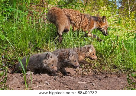 Red Fox Kits (vulpes Vulpes) Crawl Out Of Den