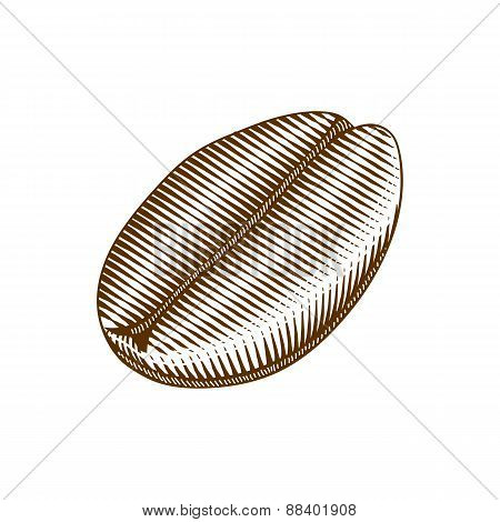 Vintage woodcut style illustration of a coffee bean