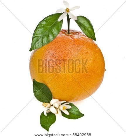 grapefruit flowering with leaves close up isolated on white background