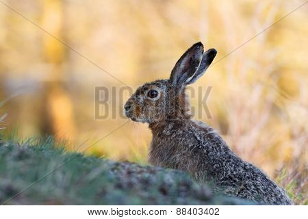 European hare in profile with yellow background