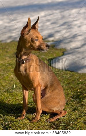 russian shorthair toy terrier