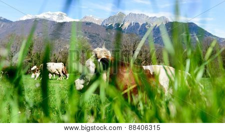 Cows In A Meadow With Grass In The Foreground