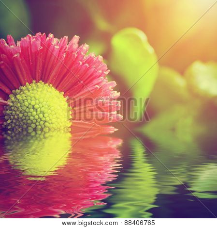 Fresh spring daisy flower in water. Nature background, spa, zen concept.