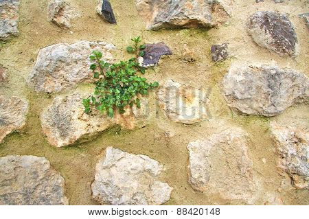 Old stone wall with small green flowers growing on it