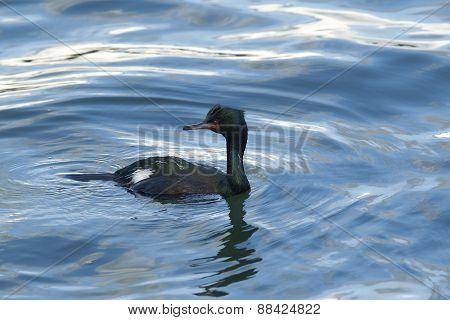 Pelagic Cormorant.