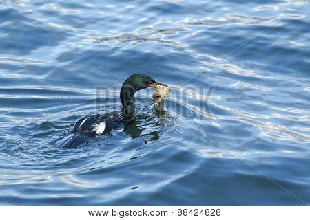 Cormorant with food.