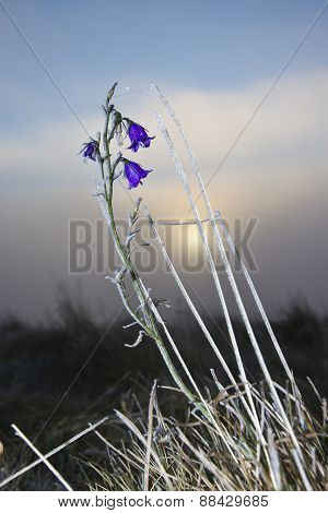 frozen bellflower in Vosges mountains, France