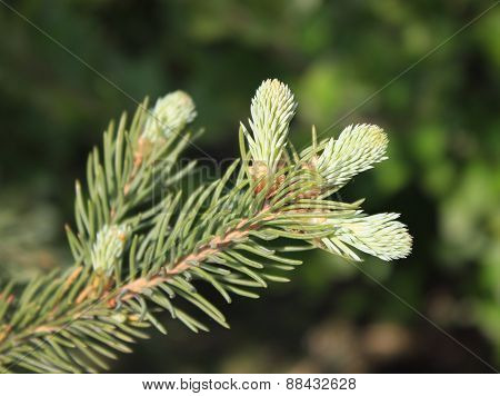 Fir twig with young sprouts