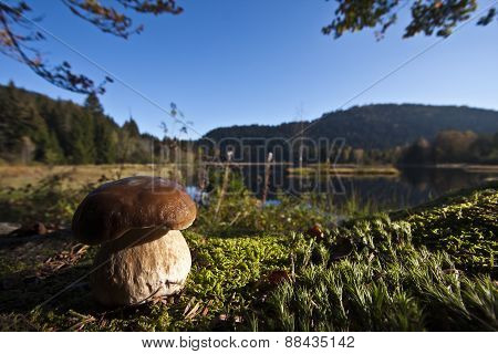 Boletus edulis, porcini in Vosges mountains, Vosges, France