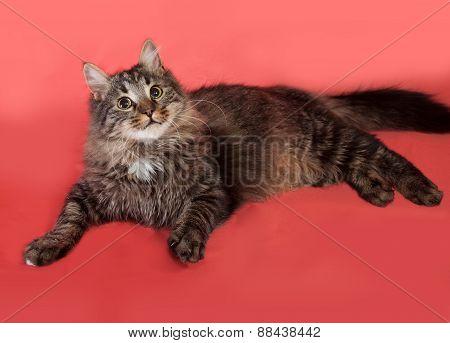 Striped Fluffy Siberian Cat Lying On Pink