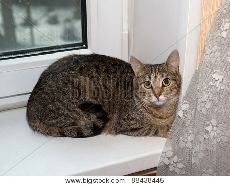 Striped Cat Lies On Windowsill
