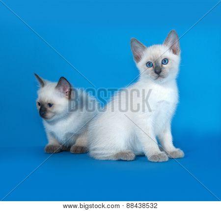Two Thai White Kitten Sitting On Blue