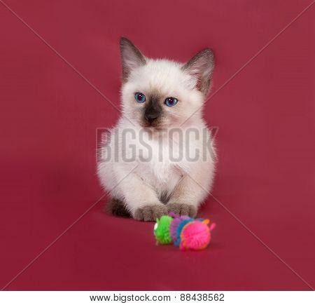 Thai White Kitten Sitting On Red