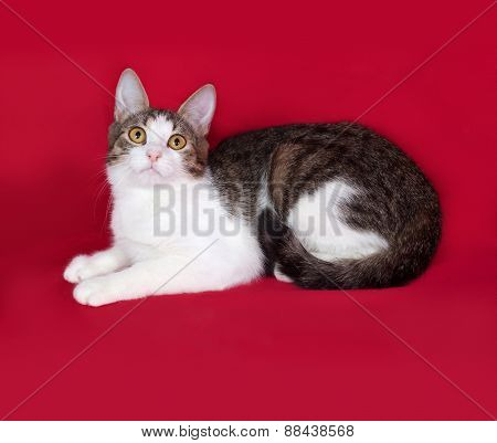 Striped And White Cat Teenager Lies On Red