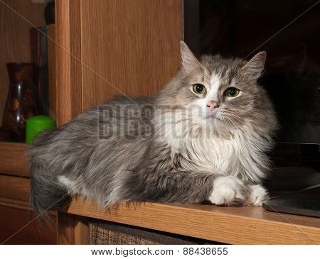 Fluffy Gray And White Cat Lies On Background Of Tv