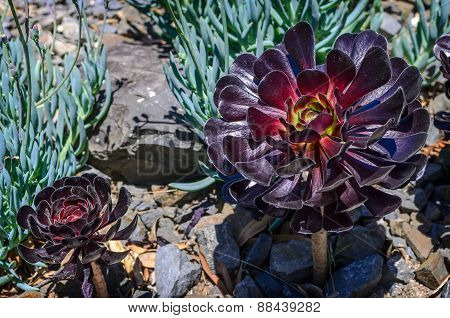Aeonium arboreum outside in a garden