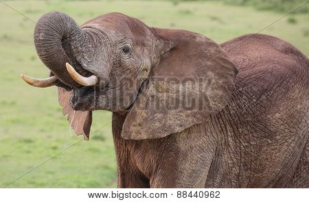 African Elephant Male