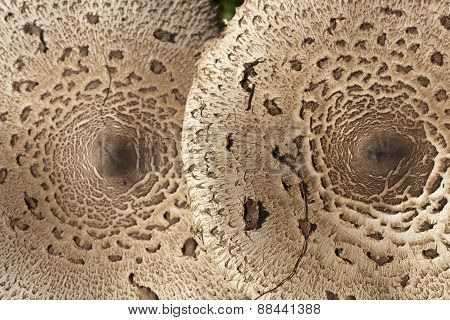 detail of two parasol mushrooms, Vosges, France