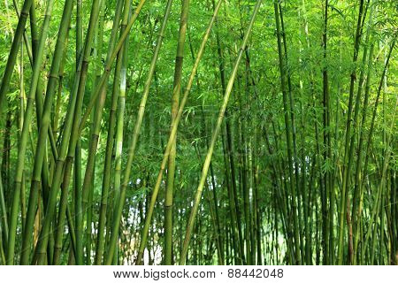 bamboo tree growth in the forest