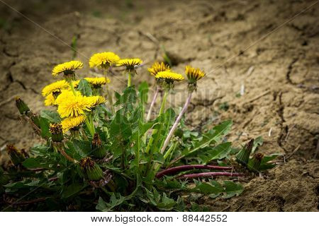 Dandelion Flowers On Dry Land