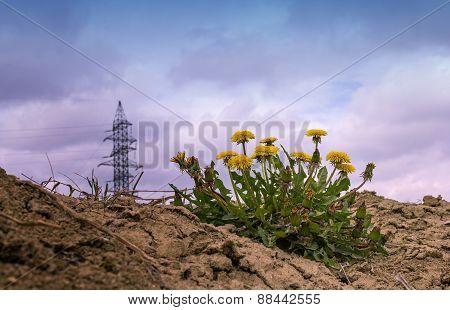 Dandelion Flowers Scene