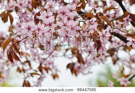 Flowers of an Oriental cherry.