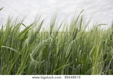 Spikes Of Green Wheat In Spring