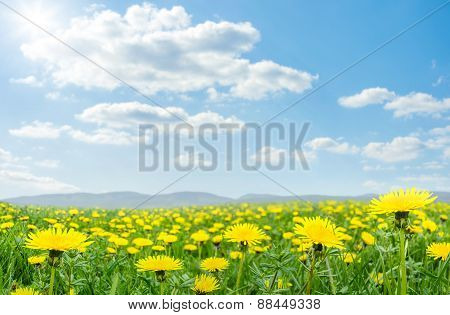 Spring Meadow With Blooming Dandelion