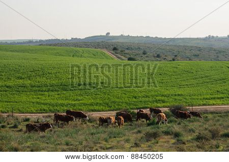 Grazing Cows In Pastoral Landscape