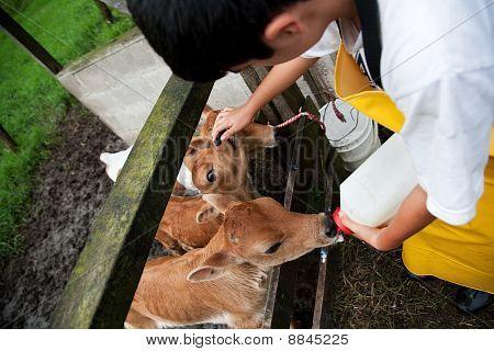Young Boy Working On Costa Rican Dairy Farm Feeding Calf