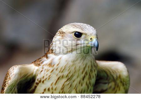 saker falcon portrait (Falco cherrug)