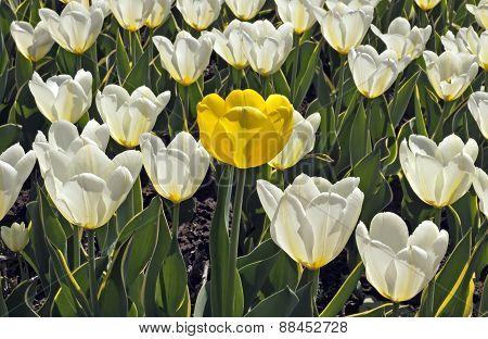 Yellow Tulip Among White Tulips