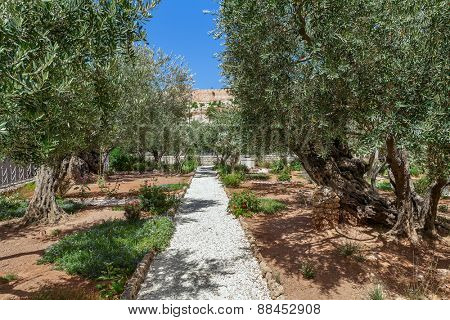 Olive trees in famous Gardens of Gethsemane in Jerusalem, Israel.