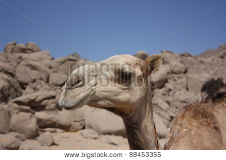 Head Of A Camel In The Desert