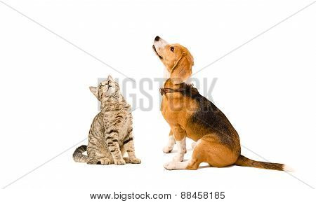 Funny cat Scottish Straight and a beagle dog