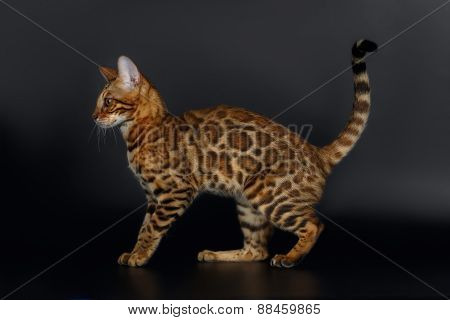 Side View Bengal Cat