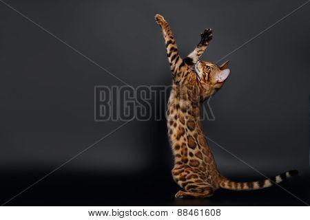 Rising up Paws  Playful Bengal Cat