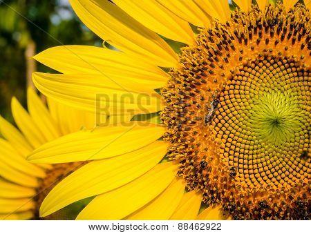 Bee In  Sun Flower .