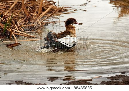 Egyptian Goose Splashing water and taking bath
