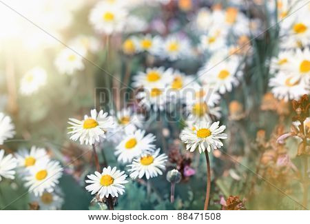 Daisy flowers - little spring daisy flowers