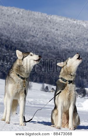 Portrait Of Siberian Husky Sled Dog