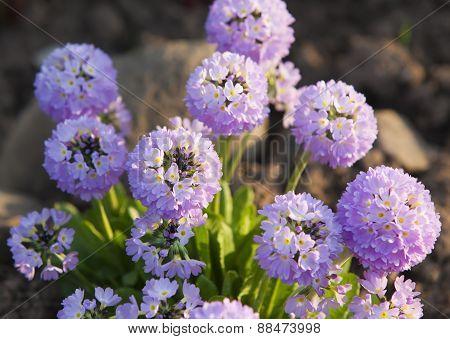 blossoming decorative onions (Allium )