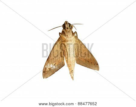 Moth isolated on white background