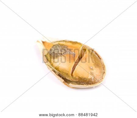 Pumpkin seed close up.