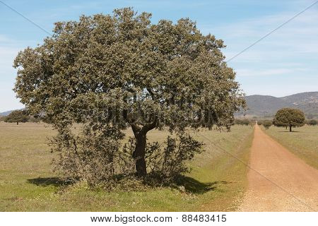 Oak Holms And Gravel Road In A Mediterranean Meadow. Spain